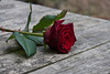 ckuchem-2102 (christine_kuchem) Tags: blume blüte pflanze rose schnittblumen stiel stielrose tisch geschnitten liegend liegt rot schön