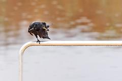 Crow Scratch (Maggggie) Tags: 365 takeaim crow bar lake lakehorton water stretch scratch bird rain drops