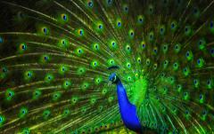 Pfauenrad - immer wieder schn (ellen-ow) Tags: blauerpfau farben pfaue pfauenrad wirbeltiere grosevgel hhnervogel bird tier peacock