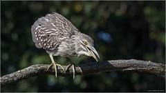 Grumpy Night Heron (Chris Lue Shing) Tags: nikond5100 nikonafs70300f4556gvr bird aurora ontario nokiidaatrail mckenziemarsh nature ©chrislueshing afsnikkor70300mm14556g blackcrownednightheron heron night