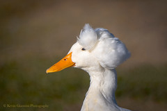 Crested (Kevin James54) Tags: crested domesticduck nikond500 tamron150600mm animals avian bird duck kevingianniniphotocom