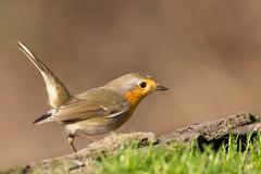 Pettirosso - Robin (Attilio Piselli) Tags: bird avifauna pettirosso wildlife bokeh erithacusrubecula robin