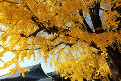 Pure autumn (Teruhide Tomori) Tags: 銀杏 イチョウ 秋 西本願寺 京都 寺社建築 日本 木造建築 樹木 ginkgo autumn tree japan kyoto temple yellow plant japon architecture building construction wooden leaf