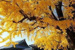 Pure autumn (Teruhide Tomori) Tags:          ginkgo autumn tree japan kyoto temple yellow plant japon architecture building construction wooden leaf