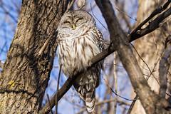 Chouette rayée / Barred Owl (Pierre Lemieux) Tags: villedequébec québec canada chouetterayée barredowl domainemaizerets