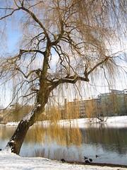 Lietzensee Winter 2013 (h.zuklampen) Tags: winter baum schnee see lietzensee heiter vögel outdoor trauerweide