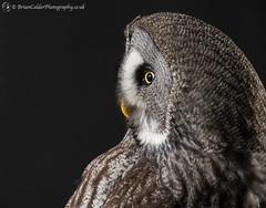 European Great Grey Owl