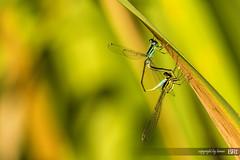 love_dance (alamond) Tags: love nature canon is couple bokeh 7d l usm damselfly ef 70300 copulation azuredamselfly coenagrionpuella llens f456 2013photochallenge