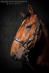 Henry (Raven Photography by Jenna Goodwin) Tags: light horse irish art speed dark photography bay exposure flash fine polkadots pony youngster equestrian equine strobe flickrfriday nostrobistinfo removedfromstrobistpool seerule2