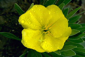Photo - Yellow Evening Primrose