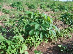 Cassava field due for first routine maintenance (IITA Image Library) Tags: nigeria cassava demonstrationfarm routinemaintenance manihotesculenta iitacta