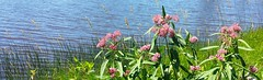Swamp Milkweed (Art and Nature-Mike Sherman) Tags: wild summer water photo flora michigan july upperpeninsula northwoods boreal swampmilkweed asclepiasincarnata seneynationalwildliferefuge cpool