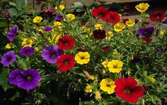 colorful (JB joba2013) Tags: flowers bloemen kleuren