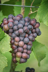 Chubby Cluster (eyriel) Tags: macro nature vineyard wine vine winery grapes grape ripening