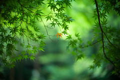 Fragment of a Memory (moaan) Tags: life leica summer green leaves 50mm dof bokeh f10 momiji japanesemaple kobe utata noctilux m9 2013 inlife leicanoctilux50mmf10 leicam9 m9p  leicam9p futatabipark