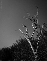 _A235203 (Bill Herndon) Tags: blackandwhite bw usa tree nationalpark flickr published texas olympus canyon grainy bigbend drytree boquillascanyon e620 flickrwrherndon