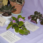 African Violet Cultural Problems thumbnail