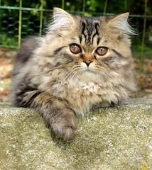 1 (Miiaou) Tags: portrait chaton persan