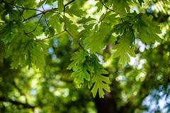 white oak veins (Michael W. May) Tags: life tree leaves oak nikon branch bokeh whiteoak michiganfiberfestival allegancountyfairgrounds d7000