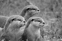 . (alina achiricioaei) Tags: otterfamily