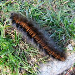 elsietett / Caterpillar in a hurry (debreczeniemoke) Tags: autumn brown furry caterpillar lasiocampidae transylvania transilvania barna erdély hernyó brombeerspinner inahurry ősz foxmoth macrothylaciarubi rozsály szőrös polyphage bombyxdelaronce canonpowershotsx20is igniş sietős falenavolpe málnapohók málnaszövő anneaududiable pohókok