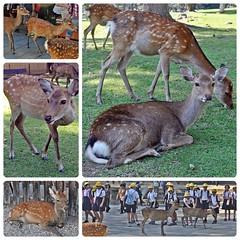(Danburg Murmur) Tags: students grass japan fence children geotagged mosaic lawn hats doe deer spots  nippon schoolchildren nara buck nihon schooluniform  narapark shika     sikadeer  nihonkoku nipponkoku naraken geo:lon=1358360648716889 geo:lat=3468358173128628