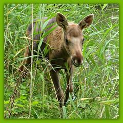 Hello everybody. (Cajaflez) Tags: netherlands animal reeds nederland moose explore riet eland natuurparklelystad jong the zoogdier abigfave mygearandme flickrstruereflection1