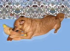Chicken War Games 4 (M.P.N.texan) Tags: dog playing play chuck miniaturepinscher minpin toydog