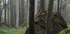 Wald (J. Gschwender) Tags: trees forest austria sterreich nikon wald bume bregenzerwald lecknertal gschwender