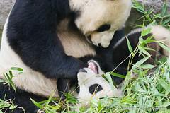 _MG_2737 (Bob Worthington Photography) Tags: giant panda sandiegozoo baiyun canon7d canon70200f28lisii xiaoliwu zoo090113