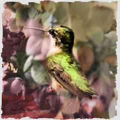 Humming Softly (gailpiland) Tags: bird nature hummingbird photoart soe thegalaxy theperfectphotographer thebestofday gailpiland ringexcellence rememberthatmomentl1