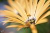 Yellow flower (macro) (Qunaieer) Tags: flower macro yellow closeup وردة أصفر مقربة