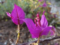 Bougainvillea /// Bougainvillier (Hélène_D) Tags: plant france flower fleur plante paca bougainvillea provence alpesdehauteprovence ahp provencealpescôtedazur bougainvillier pierrevert hélèned
