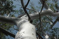Gum Tree (PorchPhoto) Tags: tree nature leaves gum branches smooth arboretum bark eucalyptus arcadia losangelescountyarboretum