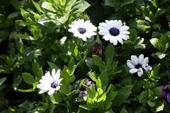 Rain daisy (ddsnet) Tags: plant flower sony taiwan cybershot taipei       rx10 raindaisy   shilinresidencechrysanthemumfestival
