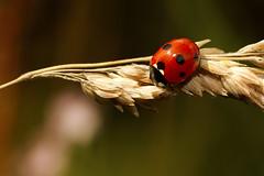 Summer Ladybird (AntiSilence) Tags: summer insect ladybird ladybug