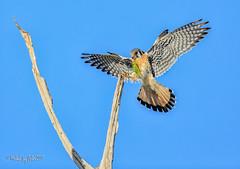 American Kestrel (MyKeyC) Tags: bird nature birds hawk falcon americankestrel kestrel birdofprey kestrelwithprey aaacolbirds