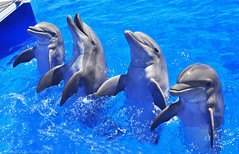 Dolphins Playing and Smiling (Sheila Kay McIntyre Photography) Tags: fish water swim aqua florida aquamarine dolphins marinelife outofwater dolphinsatplay