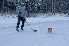 Sawyer - Week 1 of 52 (Kayley Luftig) Tags: dog canada ice puppy pond corgi week1 skate 52 weekone 152 52weeksofdogs 52weeksfordogs sawyerthecorgi
