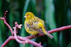 Timbrado Canary (Anthony's Photo Collection) Tags: birds vancouver conservatory canary bloedel nex6