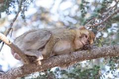 Barbary macaque 4 (Ryoushi no syokubutsuen) Tags: art sahara nature landscape desert arabic berber marocco marrakech magrib almagrib medrassa