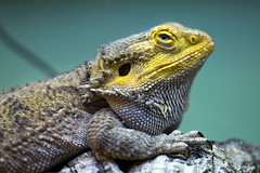 "Bearded Dragon • <a style=""font-size:0.8em;"" href=""http://www.flickr.com/photos/30765416@N06/12160354955/"" target=""_blank"">View on Flickr</a>"