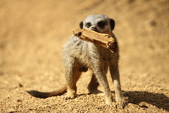 Meerkat at Colchester Zoo (Ian Press Photography) Tags: animal animals zoo meerkat essex colchester captivity meerkats