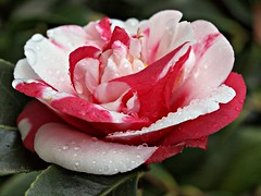 "Camellia japonica general ""coletti"" (LUIS FELICIANO) Tags: españa flor olympus galicia 1001nights vigo e5 macro50mm parquedecastrelos camalea 1001nightsmagiccity mygearandme l02rememberthatmoment☆silver l01rememberthatmoment☆bronze l03rememberthatmoment☆gold l04rememberthatmoment☆platinum l05rememberthatmoment☆earth l06rememberthatmoment☆goldencrown l07rememberthatmoment☆chronos l08rememberthatmoment☆butterfly l09rememberthatmoment☆apotheosis l10rememberthatmoment☆elite infinitexposurel1 infinitexposurel2 infinitexposurel3 infinitexposurel4 infinitexposurel5 infinitexposurel6 infinitexposurel7"