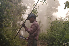 Taungoo, Cornac looking for his elephant (Olivier Th) Tags: morning man hat fog forest asia purple burma earlymorning violet bamboo ombre master jungle chapeau myanmar asie burman bambou fort brume homme matin birman vgtation birmanie tailleur tailler taungoo cornac elephantmaster sriechapeaux taunggoo matredlphant