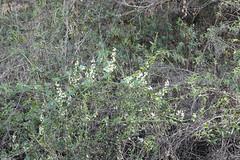 Wild Cucumber (Weeding Wild Suburbia) Tags: spnp