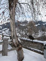 crazy cat (Riex) Tags: winter pet snow tree animal cat fence switzerland chat suisse hiver powder gato handrail neige birch arbre wallis barriere striped valais grimentz bouleau raye tigré poudreuse valdanniviers s95 canonpowershots95