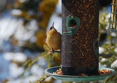 Checking out the new feeder! (ineedathis) Tags: winter bird nature garden bokeh feeder seeds suet avian songbird housewren troglodytesaedon nikond80 weepingatlascedar