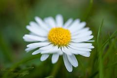 Dreamy Daisy (teamyam) Tags: white flower macro green yellow weeds bokeh depthoffield daisy softfocus wildflower efs60mmf28macrousm