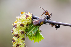 Ant on a branch (JonnaMari) Tags: macro nature finland insect spring nikon ant may birch 2014 d610